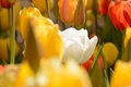 White tulip standout in field of yellow unique different courageous specia Stock Images