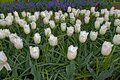 White Tulips, Is Beautiful Flo...