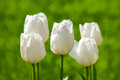 White tulips bright in garden Royalty Free Stock Photography