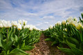 White tulips a field of in horticulture Royalty Free Stock Image