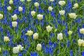 White Tulips Fields Keukenhoff...