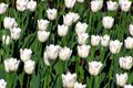 White tulips in the garden Royalty Free Stock Photo