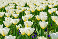 White tulips in sunshine Stock Photos