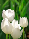White tulips symbol of cleanliness spring easter and valentine s day four on a dark green background Stock Photos