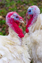 White turkeys two red heads heart form Royalty Free Stock Image