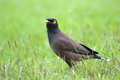 White vented myna in the park bangkok thailand Royalty Free Stock Photography