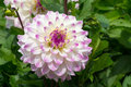 White and violet dahlia Royalty Free Stock Photo