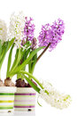 White and violet hyacinths Stock Photo