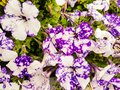 White and violet petunia flowers