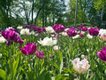 White and violet tulips in a park Royalty Free Stock Photos