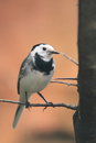 White wagtail the adult sitting on the branch Royalty Free Stock Image