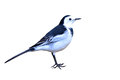 White Wagtail bird Royalty Free Stock Photo