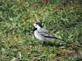 White wagtail bird motacilla alba walking on green grass Stock Photos