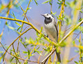 White wagtail closeup colseup image of motacilla alba on willow branch in spring forest Stock Image