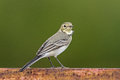 White wagtail a juvenile perch on a rusty bridge in lithuania Stock Photos