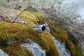 White wagtail (Motacilla alba) Stock Image