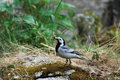 White wagtail (Motacilla alba) Royalty Free Stock Photo