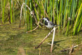 White wagtail motacilla alba pied Stock Images