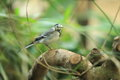 White wagtail sitting on the branch Stock Image