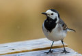 White wagtail a in spring Royalty Free Stock Images