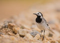 White Wagtail on stony ground Royalty Free Stock Photo