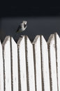 White wagtail on a wooden fence, Motacilla alba Royalty Free Stock Photo