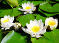 White water lilies. Royalty Free Stock Photography
