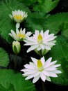 White water lilies and lily pads Royalty Free Stock Photo