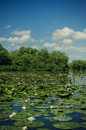 White water lilies nymphaea sp plants in the danube delta Royalty Free Stock Photo