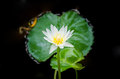 White water lilly on background with leaves Royalty Free Stock Photography