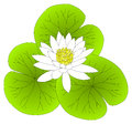 White Water Lilly Lotus Leaves Royalty Free Stock Photo