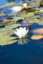 White Water-Lily. Royalty Free Stock Images