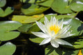 White water lily Stock Image