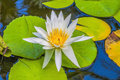 White water lily close up Stock Photo
