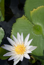 White water lily Royalty Free Stock Photo