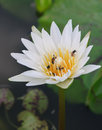 White water lily in the garden Royalty Free Stock Photography