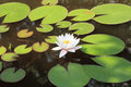 White water lily on the lake Stock Photos