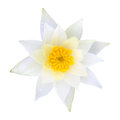 White water lily lotus Royalty Free Stock Photography