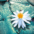 White waterlily Royalty Free Stock Photo