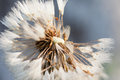 White wet fluffy dandelion macro closeup Royalty Free Stock Photo
