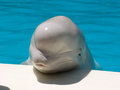 White whale beluga in the pool city yalta crimea ukraine this marine mammal is a Royalty Free Stock Photos