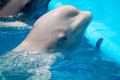 White whale swims in the pool Stock Photography