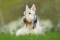 White, wheaten scottish terrier, cute dog on green grass lawn, white flower in the background,  Scotland, United Kingdom Royalty Free Stock Photo