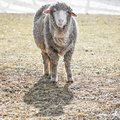 White Whooly Sheep with Ears sticking Out Royalty Free Stock Photo