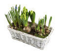 White wicker basket with spring flowers isolated hyacinths flower seedlings in background top down view Stock Image