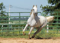 White wild horse adult arabian running Royalty Free Stock Photos