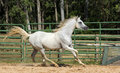 White wild Horse Royalty Free Stock Photo