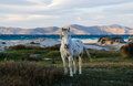 White wild horse a stands by the sea near the beach on a greek island Stock Image