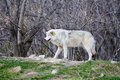 White Wild wolf in a forrest Stock Photos