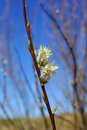 White willow Stock Photos